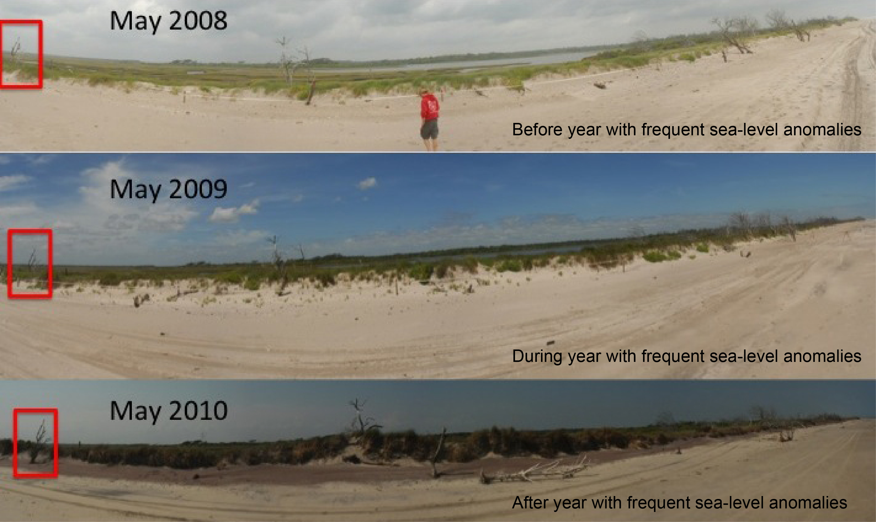 Photos taken before, during, and after a year of frequent sea-level anomalies at Onslow Beach, a barrier island in North Carolina, show how much erosion these events can cause in a year. As climate change warms the ocean and changes ocean processes, sea-level anomalies could become higher and more frequent in the future, said the new study. Credit: Ethan Theuerkauf